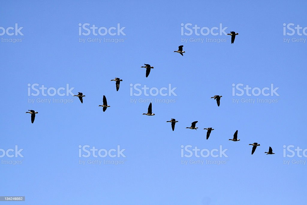 Migratory geese royalty-free stock photo