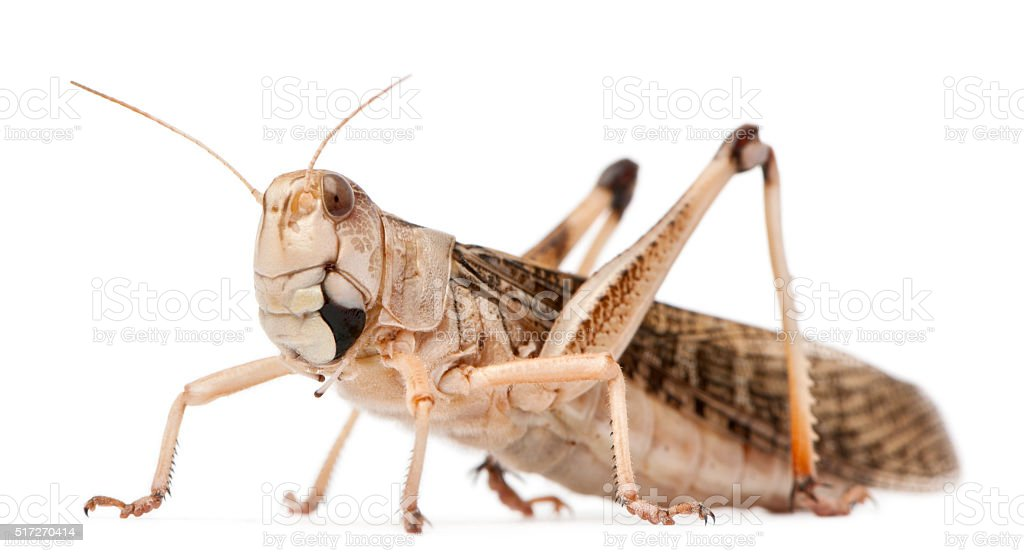 Migratory locust, Locusta migratoria, in front of white background stock photo