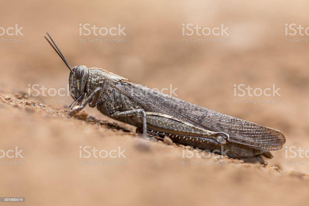Migratory locust on neutral background stock photo