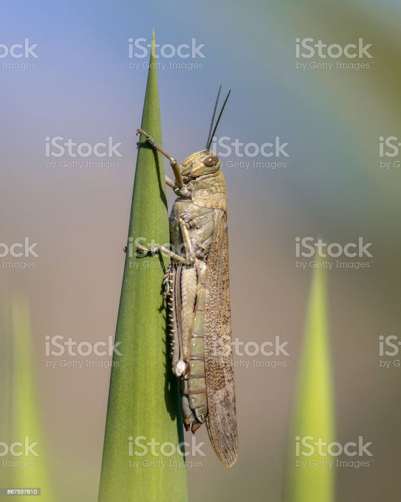 Migratory locust perched on green plant stock photo