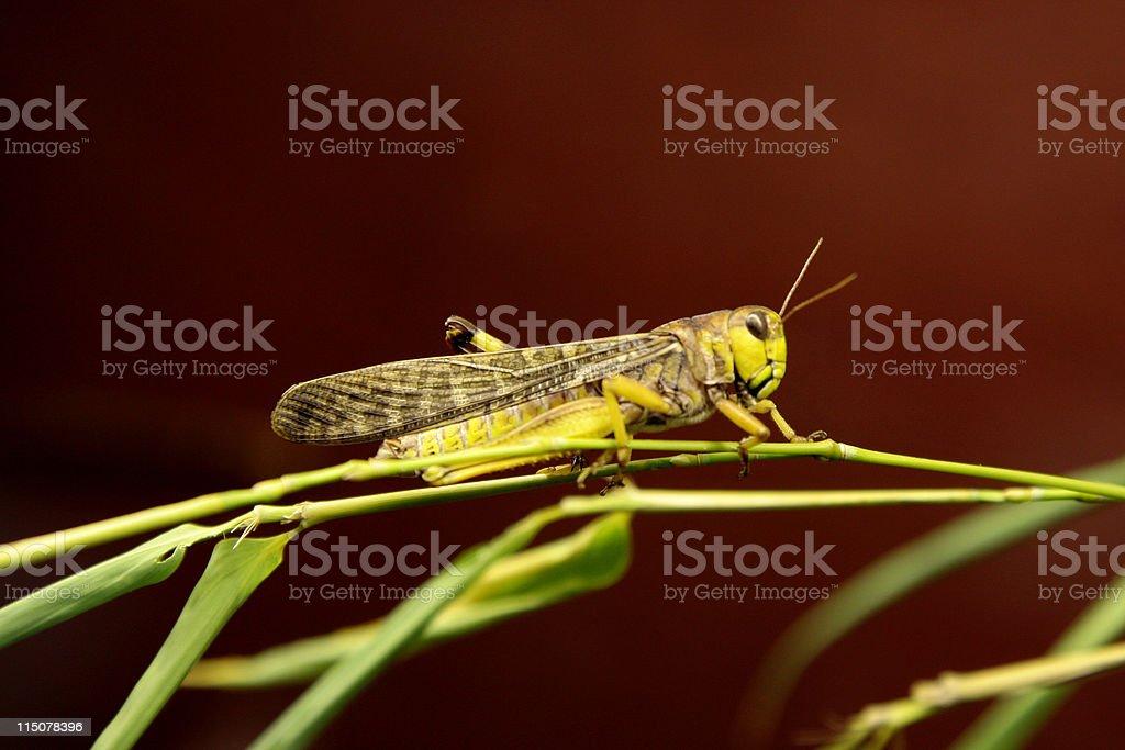 Migratory locust stock photo