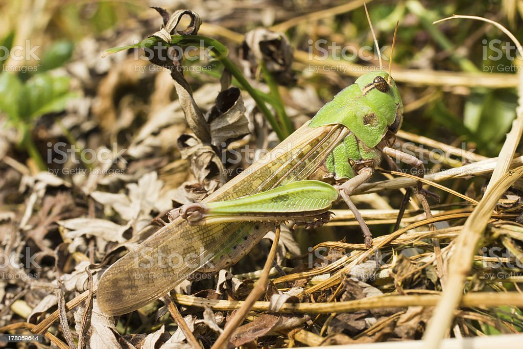 Migratory Locust royalty-free stock photo