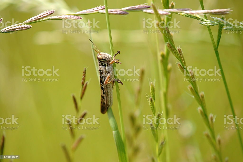 Migratory locust royalty-free stock photo