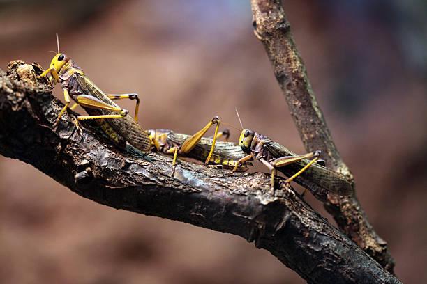 migratory locust (locusta migratoria). - locust swarm stockfoto's en -beelden