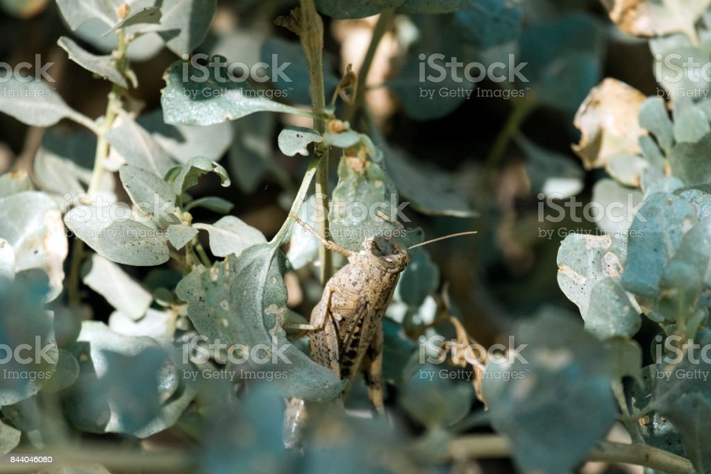 Migratory locust sitting among the green foliage of the bush (Locusta migratoria) stock photo