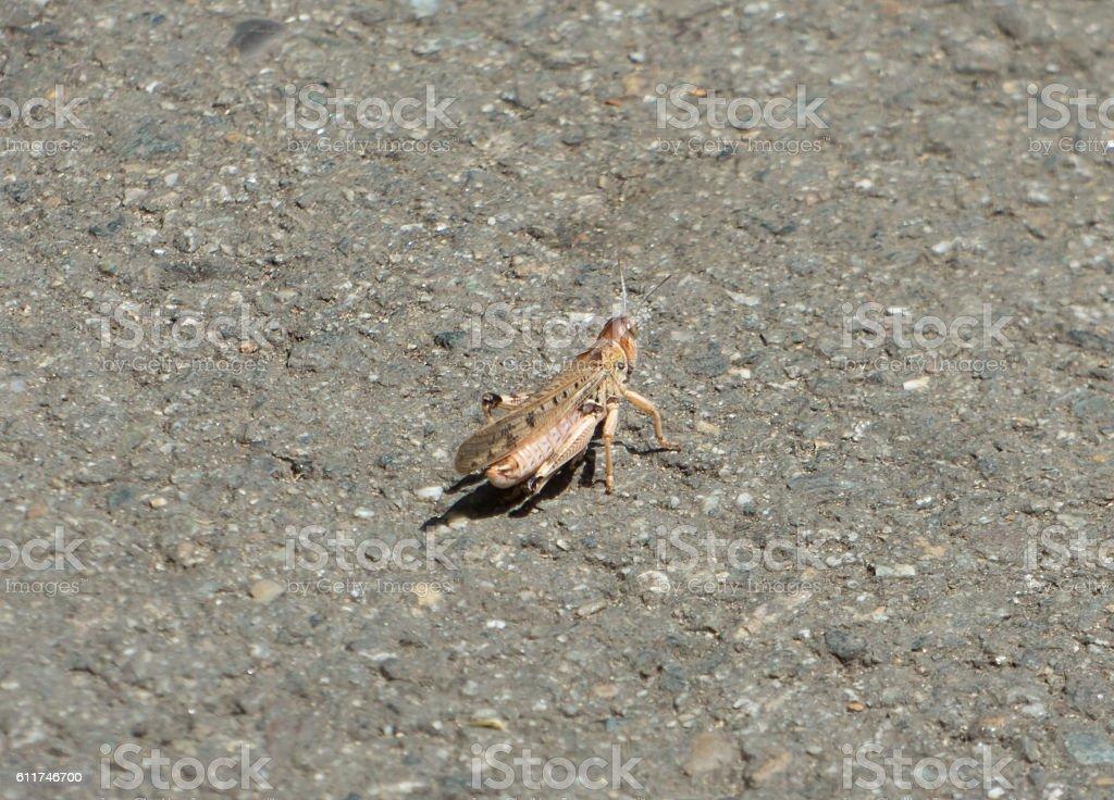 Migratory locust sitting on gray asphalt stock photo