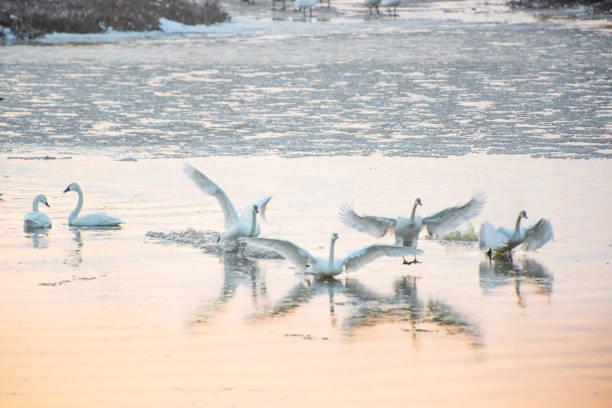 flyttande svanar - isvak bildbanksfoton och bilder