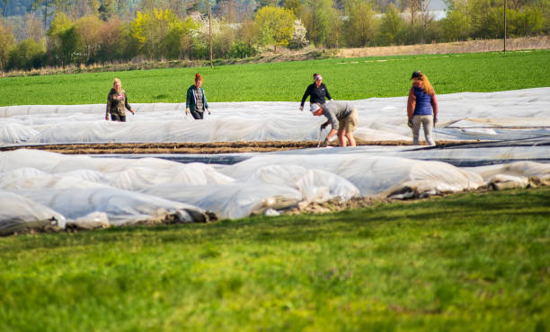 Migratory workers during harvest Altötting,Germany-April 15,2020: Migrant workers from Eastern Europe help during the asparrgus harvest. migratory workers stock pictures, royalty-free photos & images