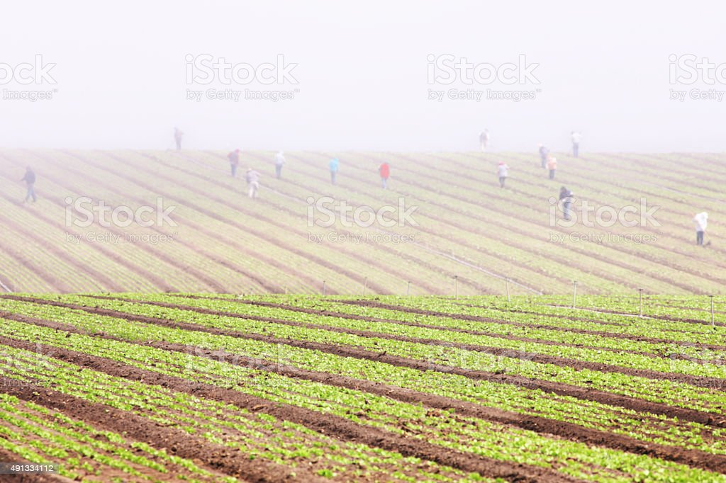 Migratory Workers Farm Crop Fog Landscape stock photo