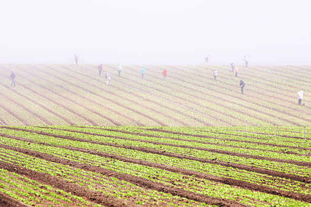Migratory Workers Farm Crop Fog Landscape Farm fields extend into the distance where dense fog descends upon workers tending the crops.  Salinas, California, 2015. migratory workers stock pictures, royalty-free photos & images