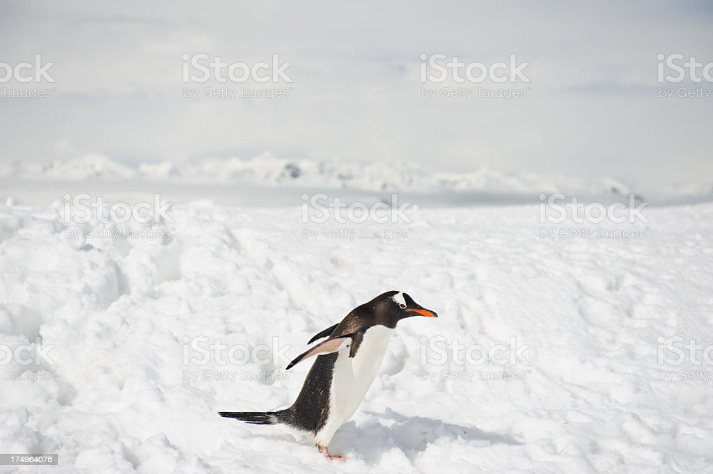 Mikklesen Harbour and penguin royalty-free stock photo