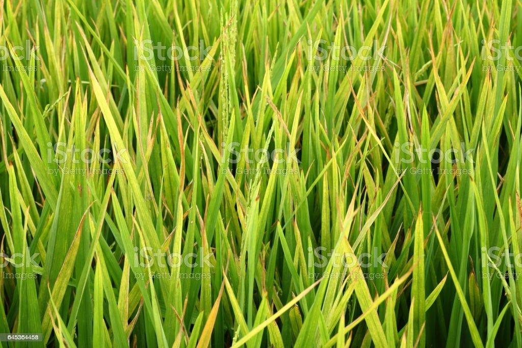 Mildew on rice leaf stock photo