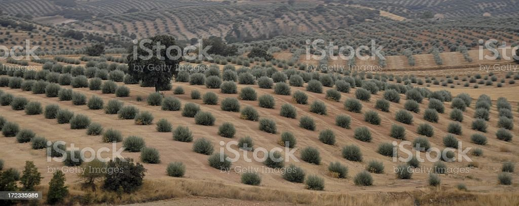 Miles of Olives royalty-free stock photo