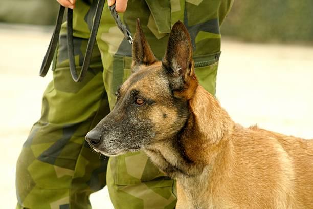 militärische dog - dressierter hund stock-fotos und bilder