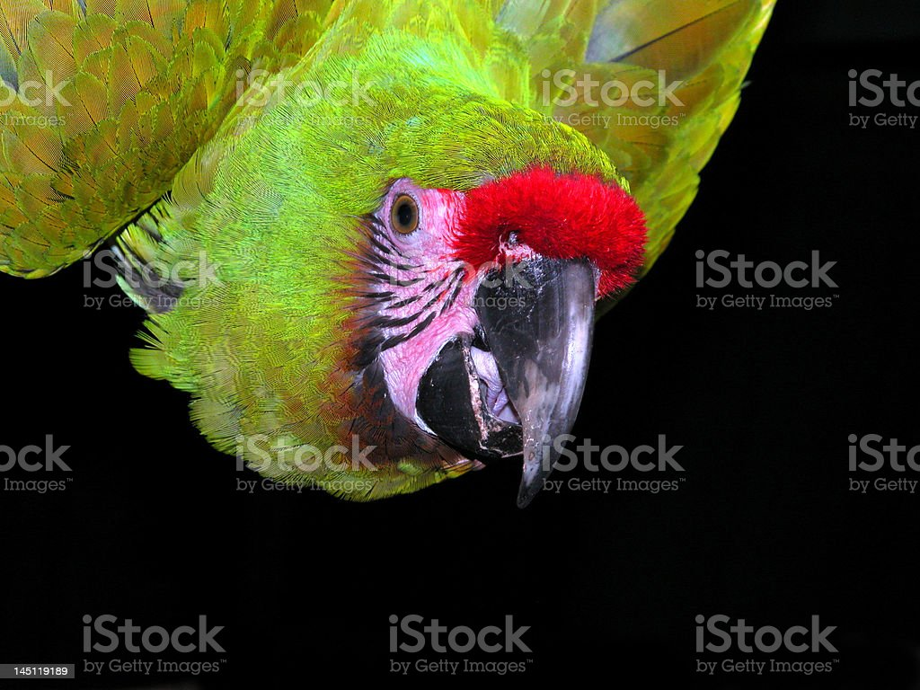 Military Macaw face stock photo