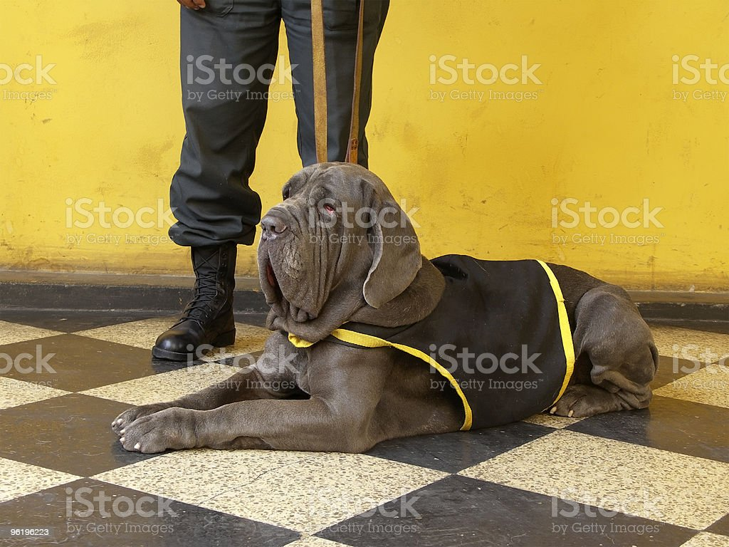 Military Mastiff stock photo