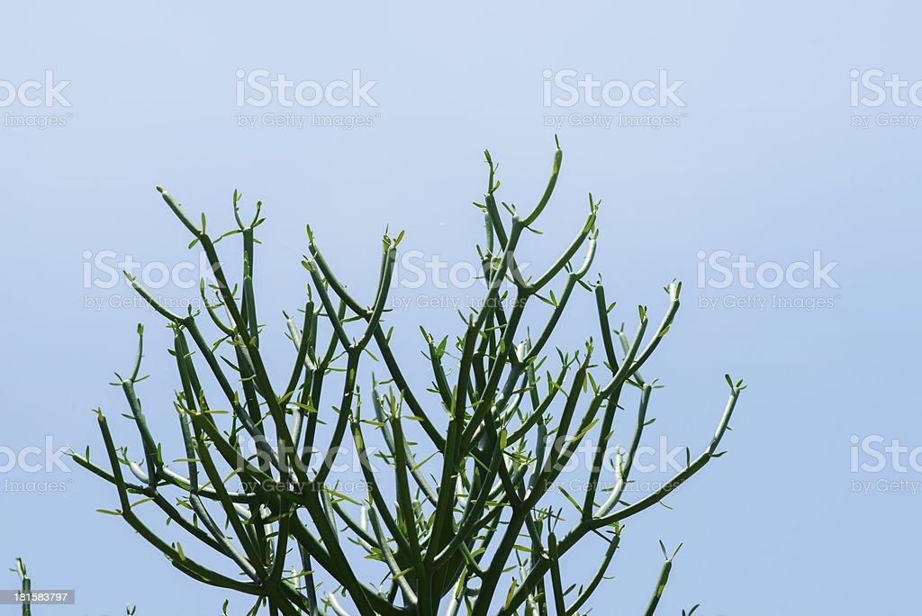 Milk bush (pencil Tree) royalty-free stock photo