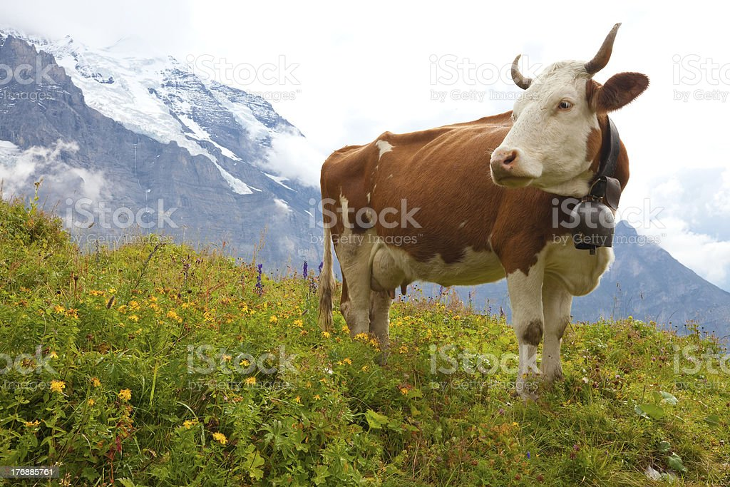 Milk cow on meadow in the Alps stock photo