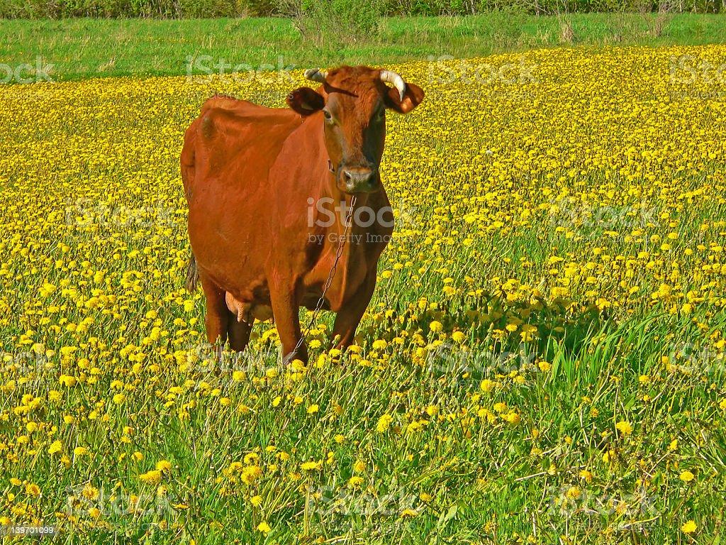 Milk cow royalty-free stock photo