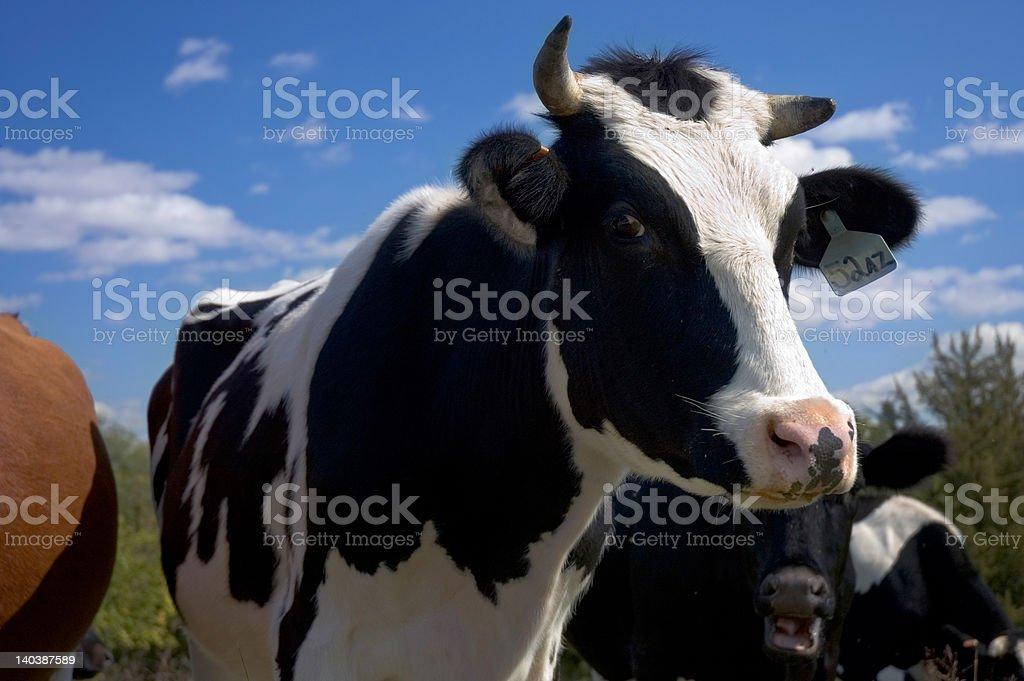 Milk Cow stock photo