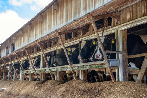 milk cow - allevatore foto e immagini stock
