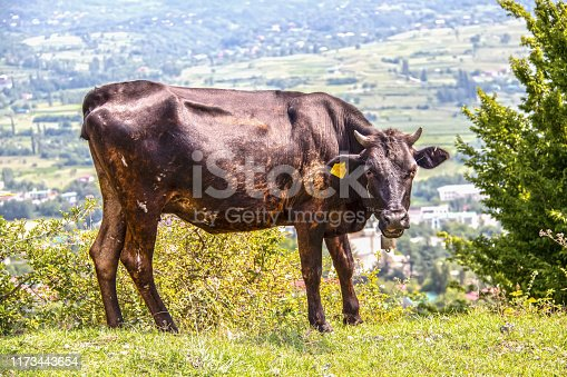 Milk cow with bell mooing and swishing tail standing on edge of mountain near the ruins of ancient Modinakhe fortress above the city of Sachkhere in Imereti Georgia visible below