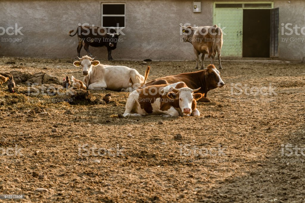 Milk Cows Outside Their Barns stock photo