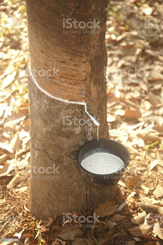 Milk of rubber tree. stock photo