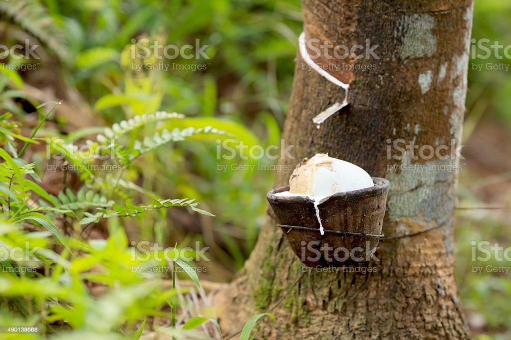 Milk of rubber tree stock photo