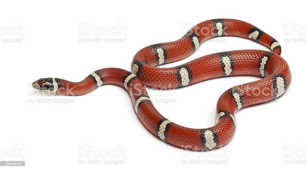 Milk snake or milksnake, Lampropeltis triangulum nelsoni stock photo