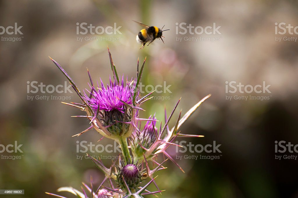 Milk Thistle and Flying Bee stock photo