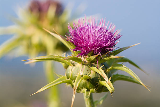 a milk thistle blossom silybum marianum in full bloom - introduced species stock pictures, royalty-free photos & images