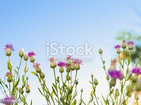 Magenta pink milk thistle blooming against a blue sky background.