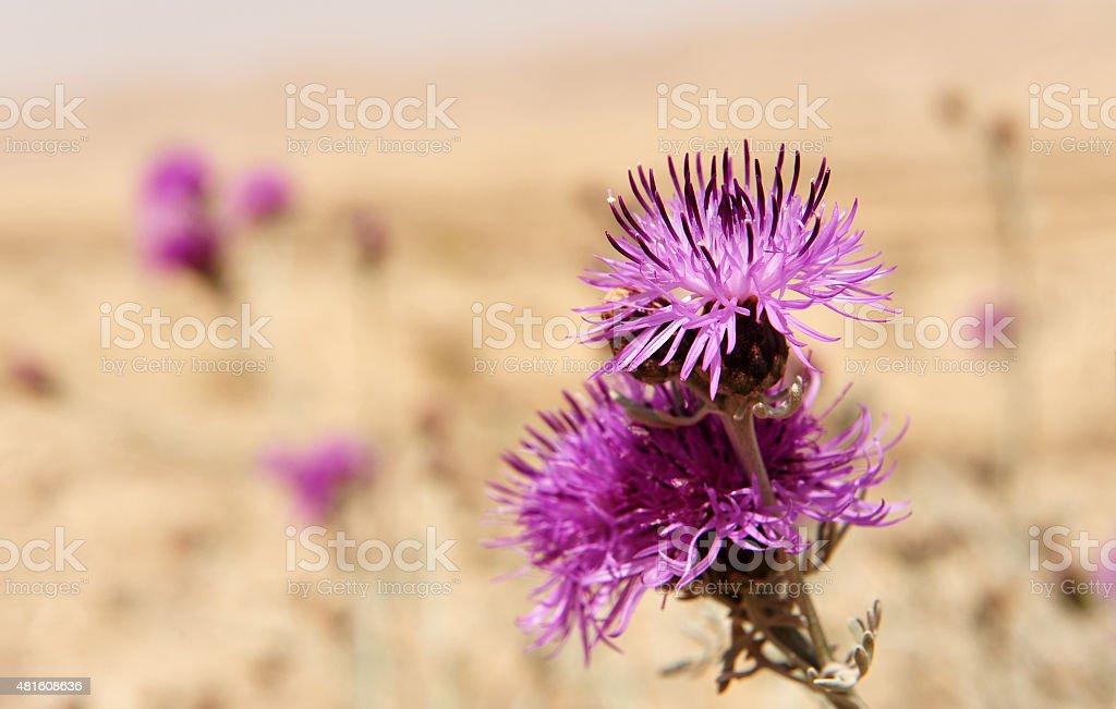 Milk Thistle Flower stock photo