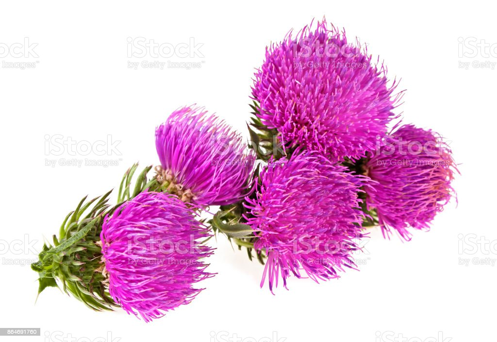 Milk thistle flowers isolated on a white background stock photo
