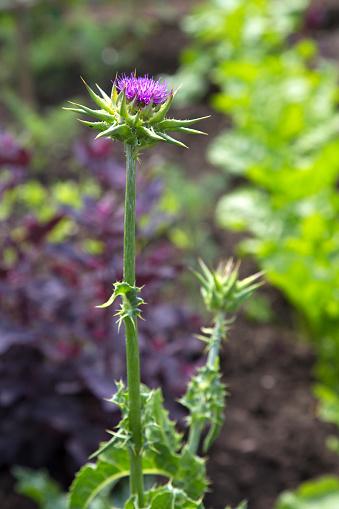 Milk thistle (Silybum marianum) healing plant in the garden