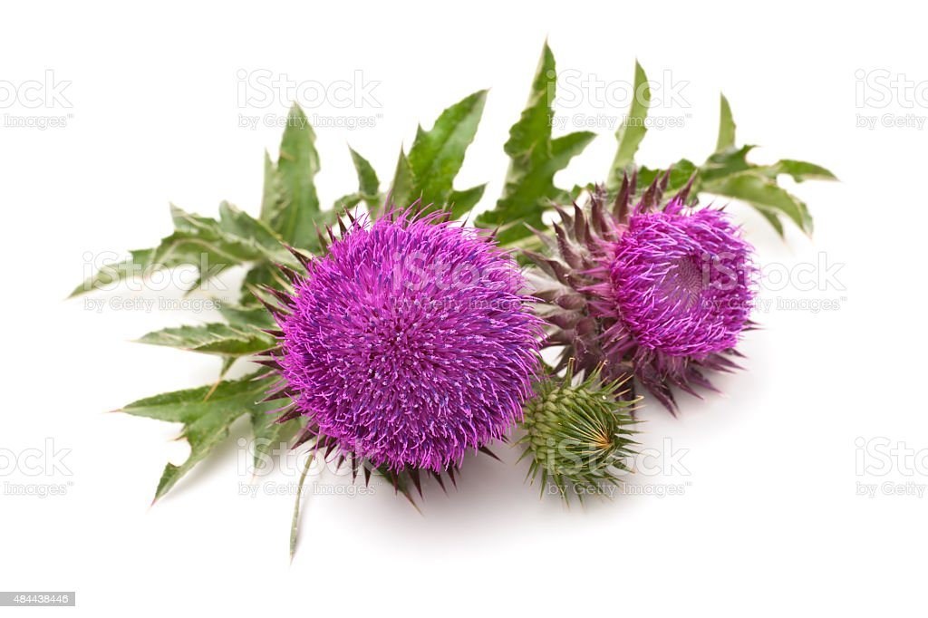 Milk Thistle plant stock photo