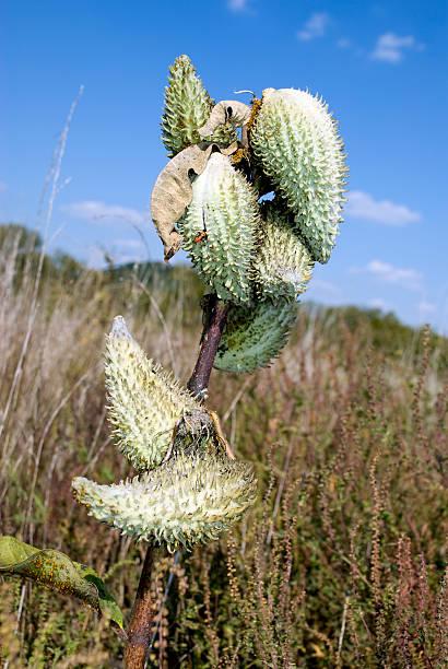 Milk Weed Pod [ Asclepias speciosa ] stok fotoğrafı