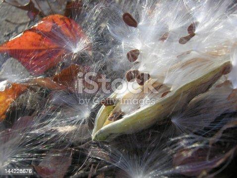 Milk Weed Pod bursting with cottony seeds.
