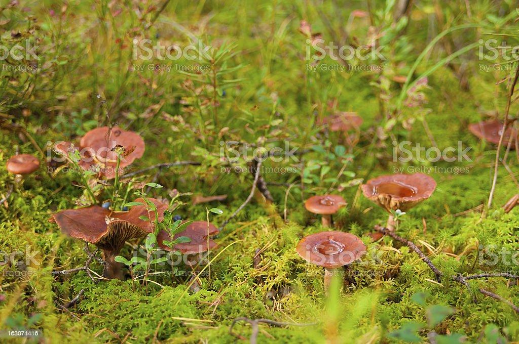milkcap mushrooms in the moss stock photo