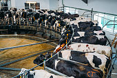 Milking cows by automatic industrial milking rotary system in modern diary farm.
