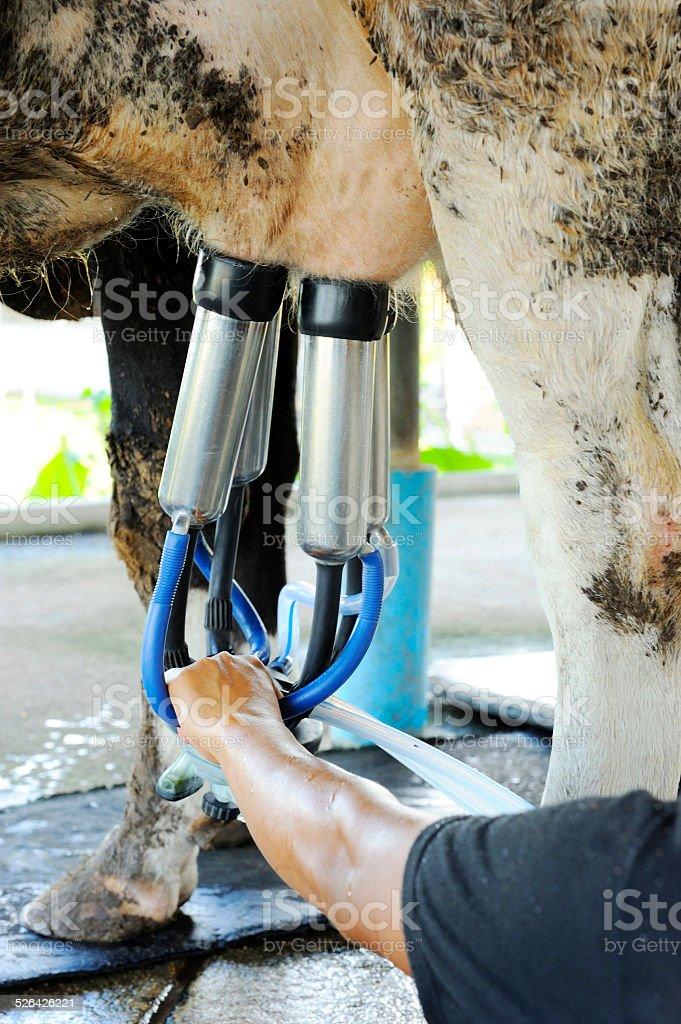Milking cows machine stock photo