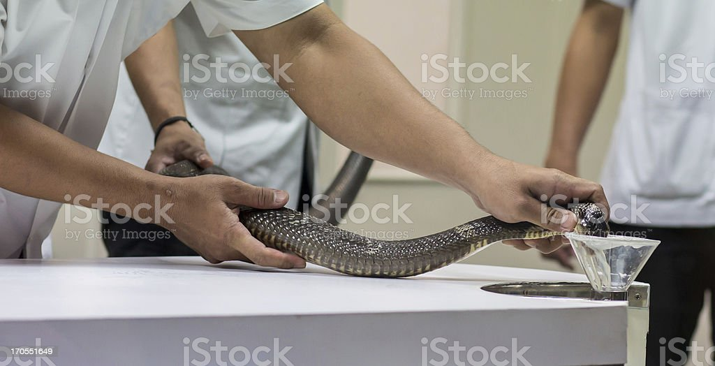 Milking snake for venom stock photo