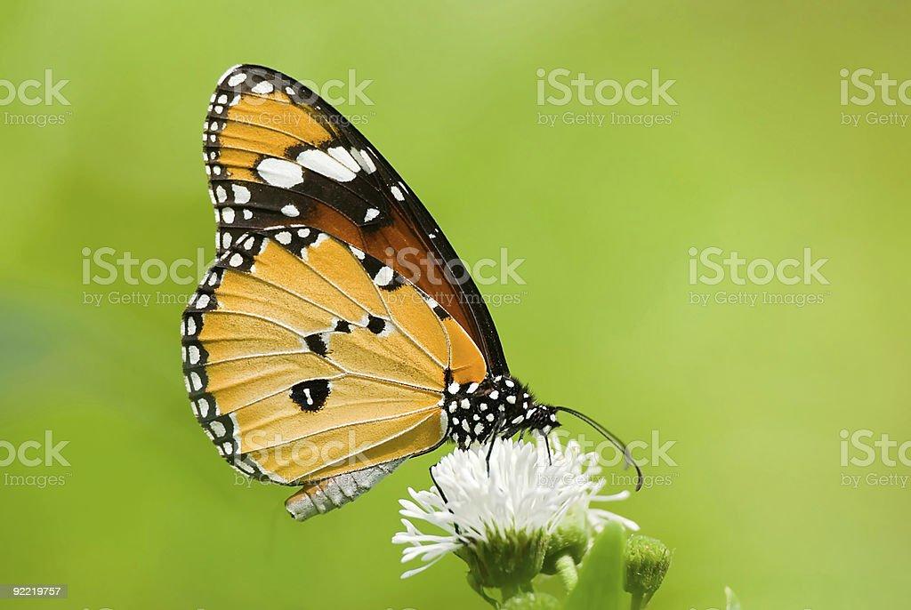 Milkweed butterfly (Anosia chrysippus, Danaidae) feeding on flow royalty-free stock photo