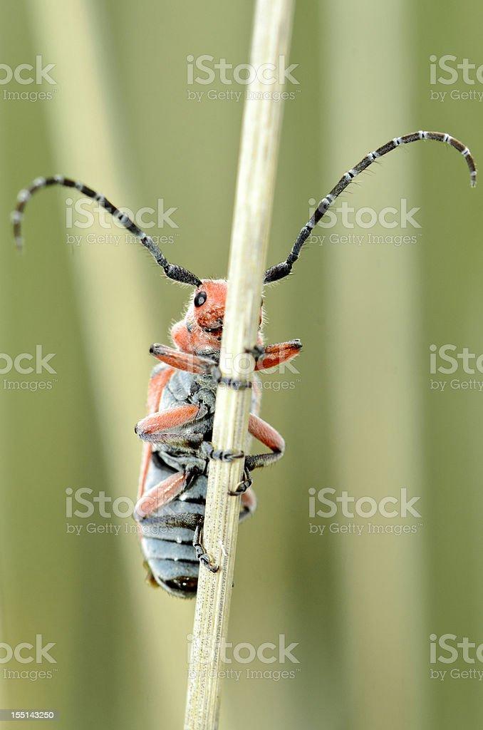 Milkweed Longhorn Beetle (Tetraopes annulatus) Hiding on a Stalk royalty-free stock photo