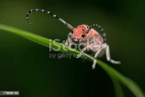 A milkweed longhorn beetle attempting to hide on a stalk