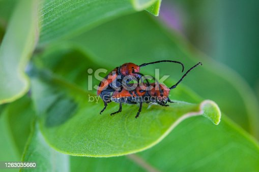 Milkweed longhorn beetles (Tetraopes tetrophtalmus) mating on milkweed plant (Asclepias syriaca).