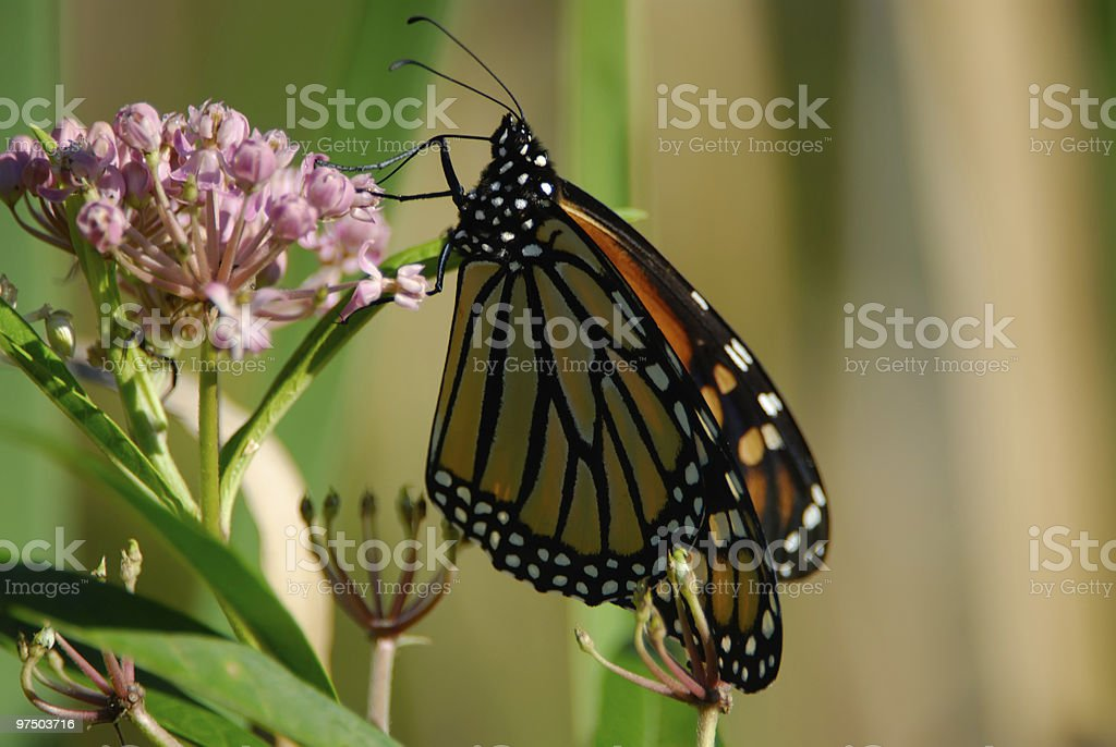 Milkweed Monarch royalty-free stock photo