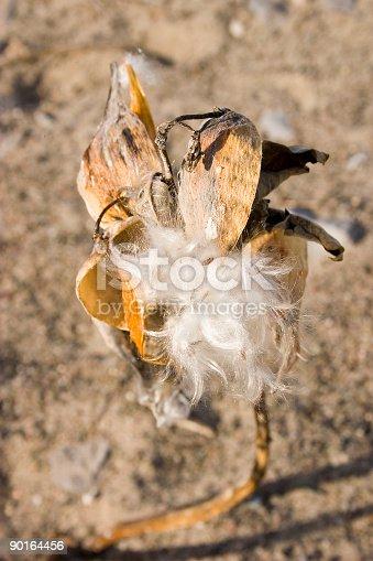 A green milkweed pod bursting with seeds.