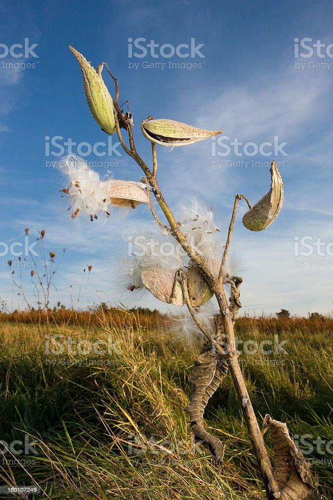 Milkweed plant and seeds stock photo